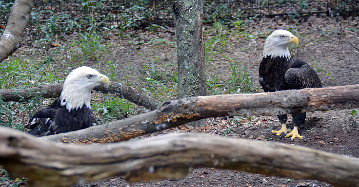 Bald Eagles at Brookgreen Gardens in Murrell's Inlet, SC