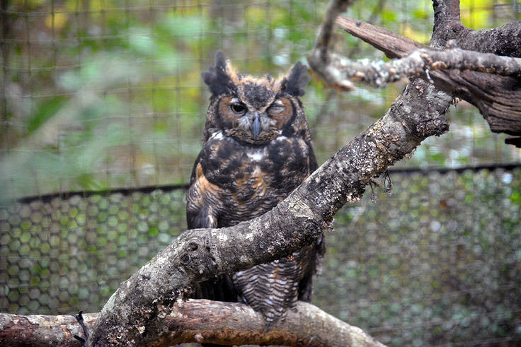 An owl watches the camera at Brookgreen Gardens in Murrell's Inlet, SC
